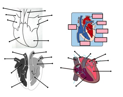 Heart and circulatory system teaching resources – the science teacher